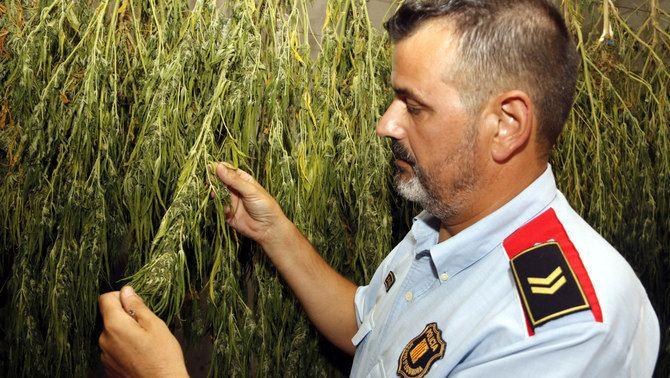 Pla mitjà on es pot veure el sotscap d'investigació dels Mossos a l'ABP del Segrià-Pla d'Urgell-Garrigues, David Mora, mostrant plantes de marihuana assecant-se a la comissaria, per posteriorment anal