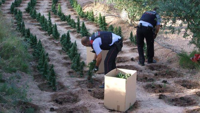 Pla general de dos agents dels Mossos d'Esquadra confiscant plantes de marihuana localitzades en una finca de Flix. Imatge publicada el 4 d'agost del 2020. (Horitzontal)