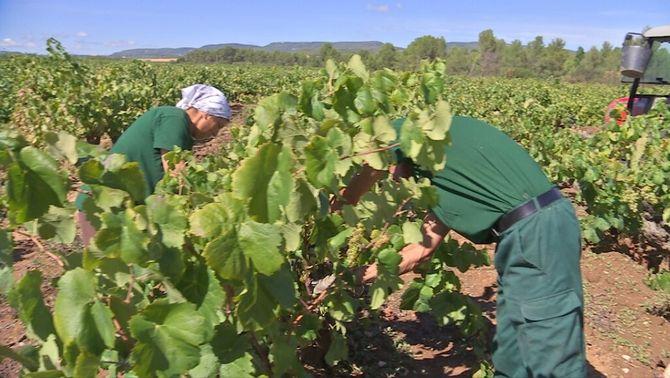 L'escalfament global fa avançar la verema i porta vins amb més grau d'alcohol