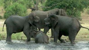 Investiguen la misteriosa mort de centenars d'elefants a Botswana
