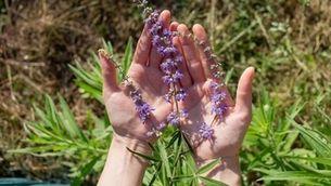 Plantes remeieres, el coneixement que han transmès les dones