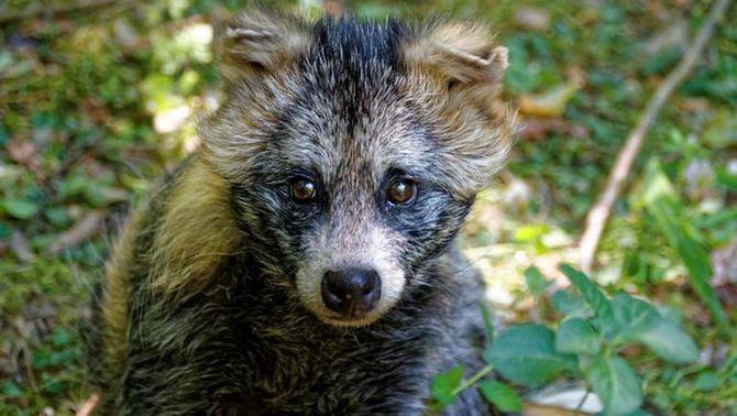 El tanuki, possible espècie pont del SARS-CoV-2 entre ratpenats i humans