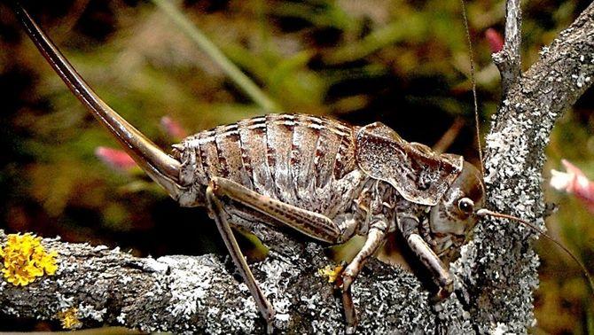 La somereta de Davier, la nova espècie descoberta a Catalunya, ja en perill d'extinció