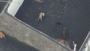 Embolic amb els gossos de La Palma i les suposades primeres imatges després del rescat