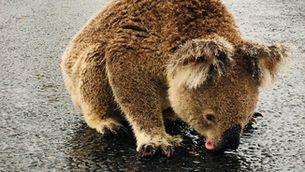 Un coala beu l'aigua que ha deixat la pluja a Nova Gal·les del Sud