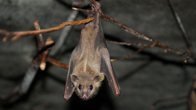 Els ratpenats també mantenen la distància social quan estan malalts