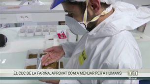 El cuc de la farina, autoritzat com a menjar per a humans