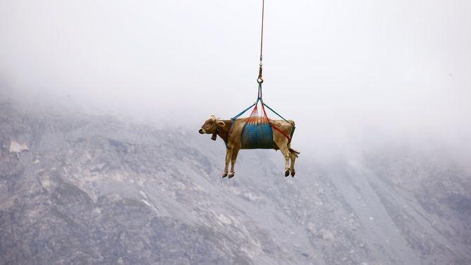 Són vaques que hanpassat l'estiu als prats més alts dels Alps suïssos