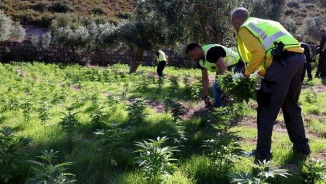 Els Mossos, desbordats per la quantitat ingent de marihuana confiscada