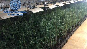 Marihuana confiscada per la Policia Nacional a Mèrida al juny