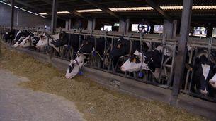 Els ramaders denuncien que estan ofegats pel preu de la llet