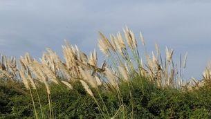 Diuen que el plomall llarg canyes i canyissars anuncia un hivern...