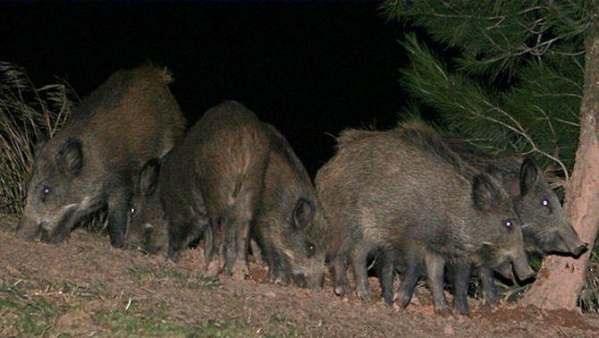 Imatge d'arxiu de diversos exemplars de porc senglar.