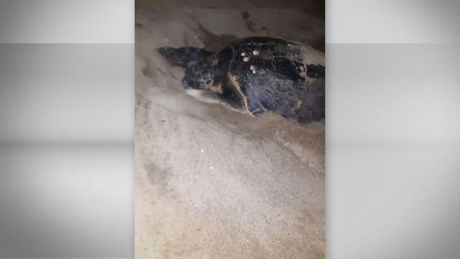 Per primer cop una tortuga babaua fa el niu a la platja del Bogatell, a Barcelona