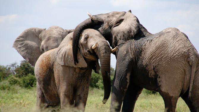 Un caçador furtiu mor esclafat per un grup d'elefants a Sud-àfrica