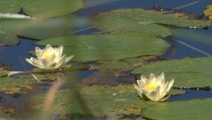 Reproduiran els nenúfars silvestres del delta de l'Ebre per introduir-los en depuradores d'aigua i per a futurs projectes ambientals