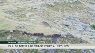 El llop torna a deixar-se veure al Ripollès