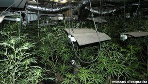 Pla general de l'interior de la plantació de marihuana al Pont de Vilomara (Bages) en una imatge publicada el 16 de juliol del 2021. (Horitzontal)