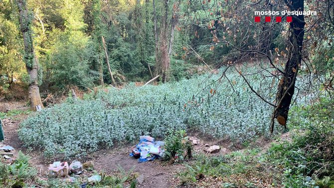 Una de les plantacions de marihuana desmantellades pels Mossos d'Esquadra al Parc Natural del Montnegre i el Corredor a Sant Celoni. (Horitzontal)