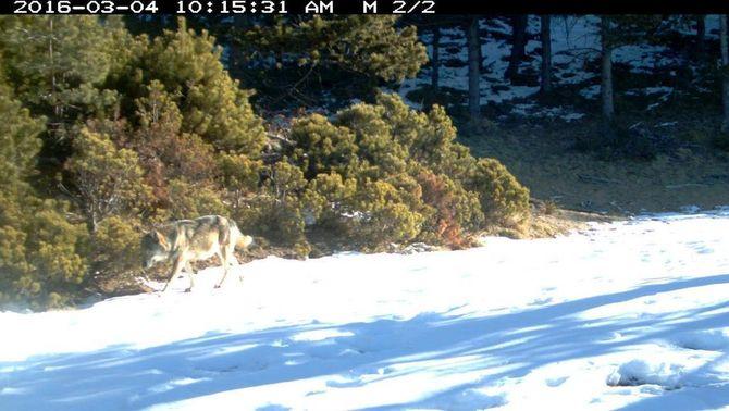 Unes fotografies confirmen la presència del llop al Pirineu