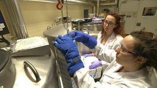 Investigadors catalans apunten un canvi de paradigma en el tractament del fetge gras