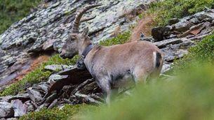 L'herc, una espècie de cabra salvatge, torna al Pirineu català un segle després