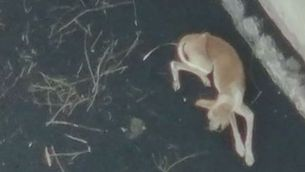 Un dels gossos atrapats per la lava a La Palma
