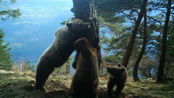 L'óssa Hvala i els seus dos cadells rascant-se l'esquena a un tronc d'un arbre en un bosc de Vielha e Mijaran el 4 de març del 2016. …