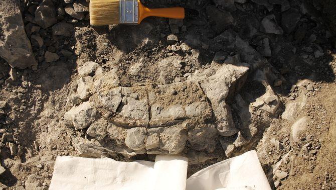 Descobreixen una costella de vaca marina de fa 42 milions d'anys a Folgueroles