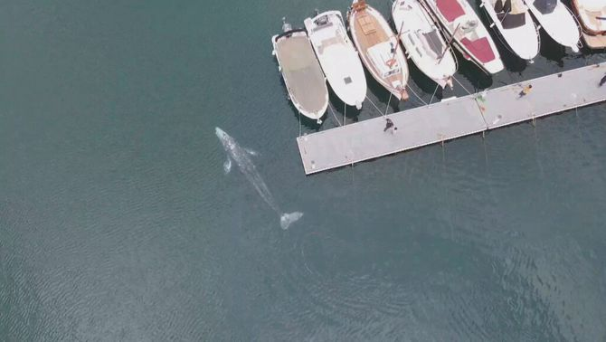 El llarg viatge de la Wally, la cria perduda de balena grisa albirada a la Costa Brava