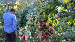 La plantació de fruits vermells d'Esterri Berry, a Esterri d'Àneu