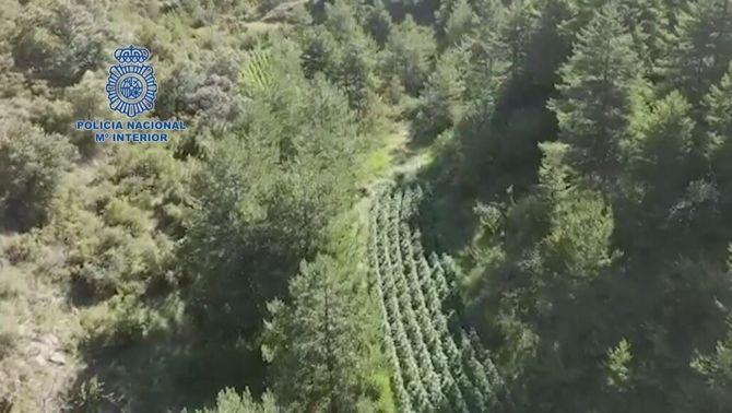 Desmantellades tres macroplantacions de marihuana enmig del bosc del Pirineu d'Osca