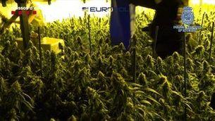 Desmantellada una organització criminal, amb seu a Catalunya, que exportava marihuana a tot Europa