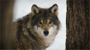 El llop torna al Solsonès.