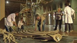 El trasllat d'un esquelet de balena