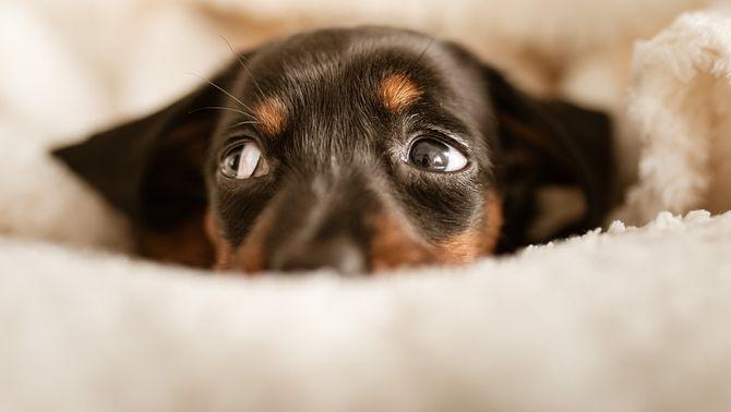 Consells per ajudar els gossos i gats que tenen pànic als petards