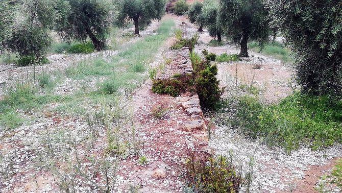 Pla obert d'una finca d'olivera de Bovera, a les Garrigues, amb la pedra caiguda al terra, el 31 de juliol del 2021. (Horitzontal)