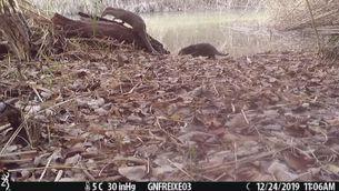 Enregistren imatges que demostren que la llúdriga cria a la reserva natural de Sebes