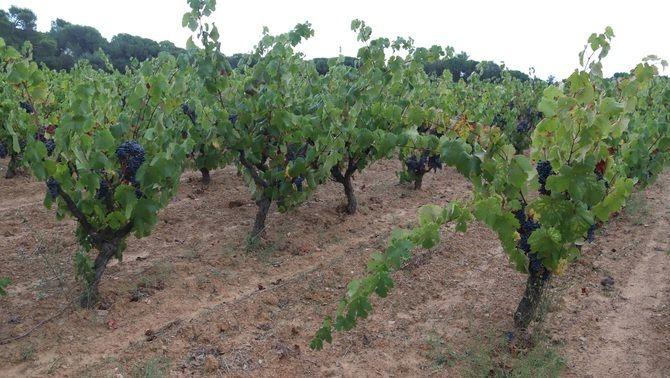 Vinyes de Calonge on han trobat part de les varietats desconegudes de raïm