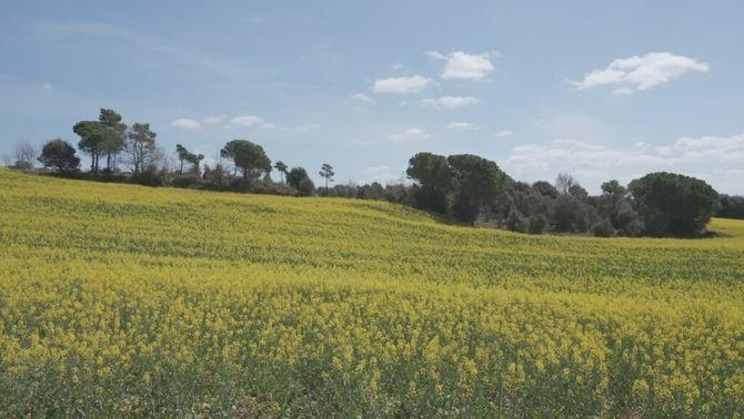 La febre de l'oli de colza: què són els camps grocs que tenyeixen Catalunya?