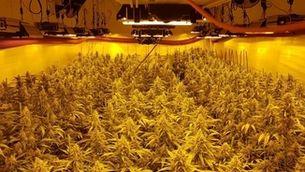 Detenen dos persones amb més de 1.500 plantes de marihuana a Guissona