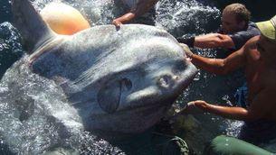 Troben un peix lluna de més de mil quilos i 2,9 metres en aigües de Ceuta