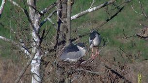 Ocells de pota llarga