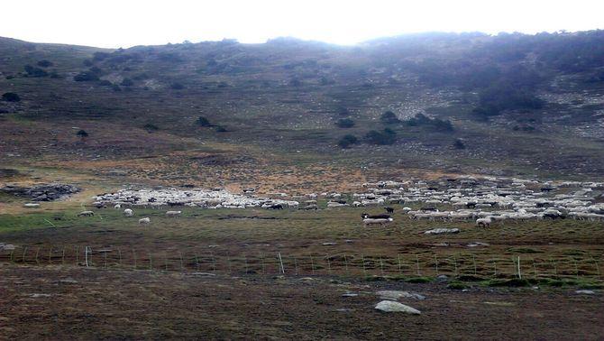 Dotze ovelles mortes com a conseqüència d'un atac d'ós a la ramada de la muntanya de Boldís, al Pallars Sobirà