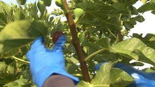 La figa, un alternativa a la fruita de pinyol a Alguaire