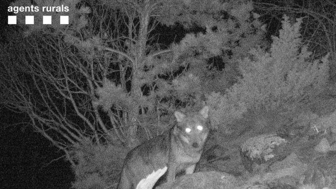 Capten la presència d'un llop al Parc d'Aigüestortes per primer cop en un segle