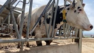 Imatge de:Vaques felices amb tecnologia digital