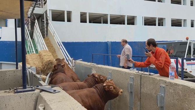 Els animalistes demanen que es prohibeixi el transport d'animals vius per mar