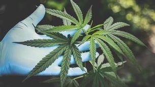 La marihuana confiscada desborda els magatzems dels Mossos