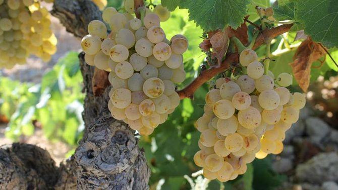 Primer pla de raïm en una vinya de la DO Terra Alta. Imatge publicada el 10 d'octubre del 2019. (Horitzontal)